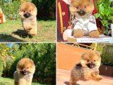 Mini boy ırk garantili boo Pomeranian yavrularımız
